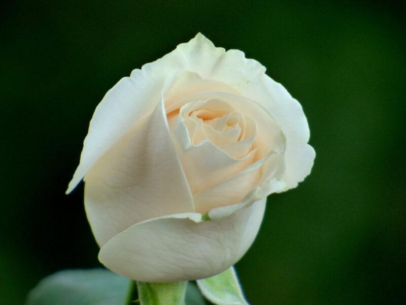 Diferentes colores de las rosas