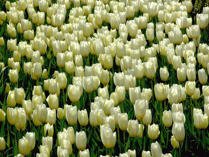 Los colores de los tulipanes