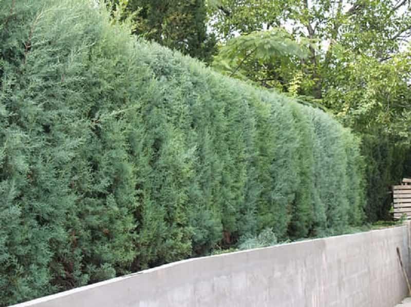 plantas para setos altos
