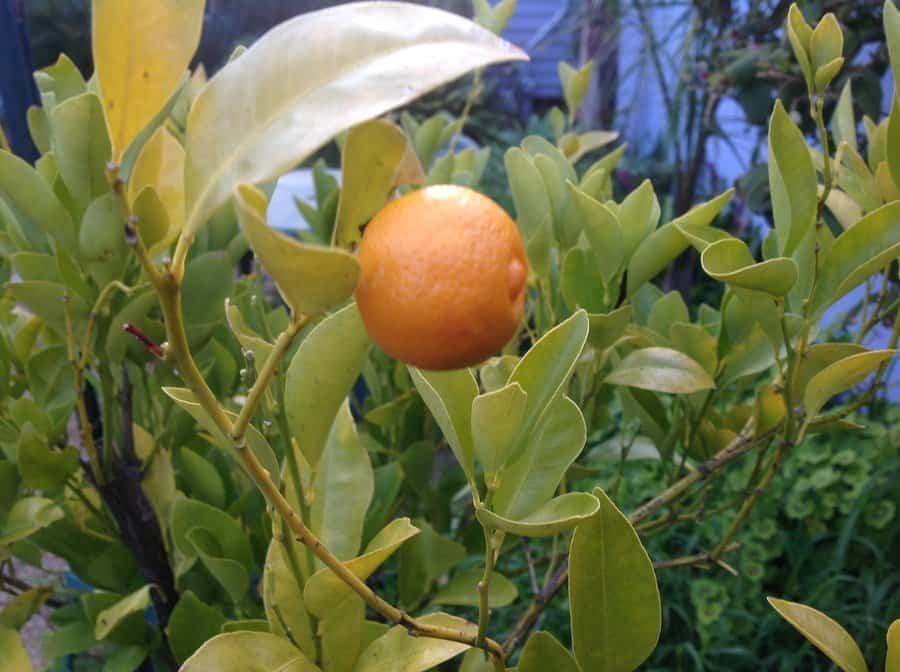 mandarino en maceta