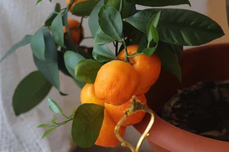 ¿Cómo cuidar un mandarino en maceta?