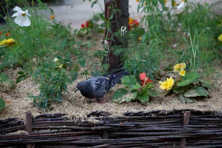 ¿Cómo ahuyentar palomas del jardín?