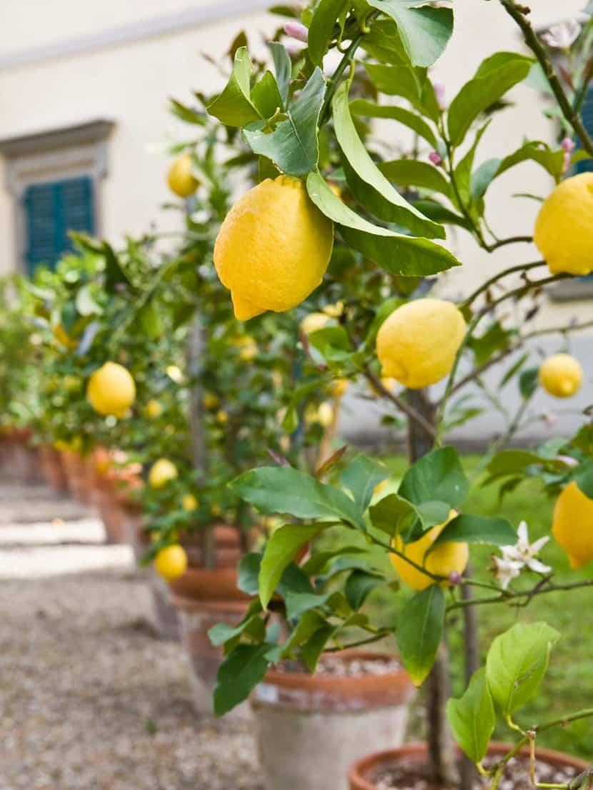 limonero en maceta