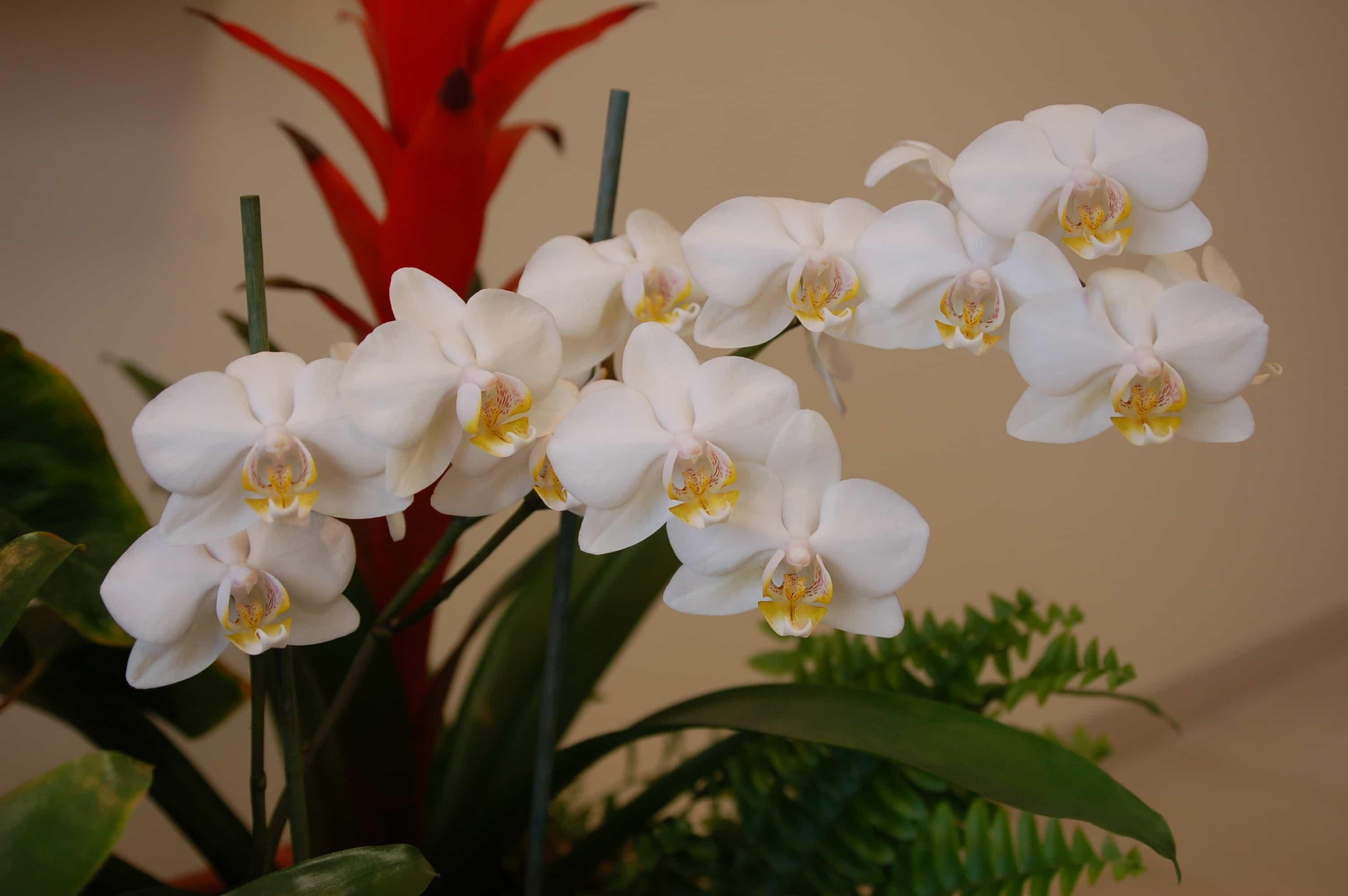 orquideas blancas para mujer