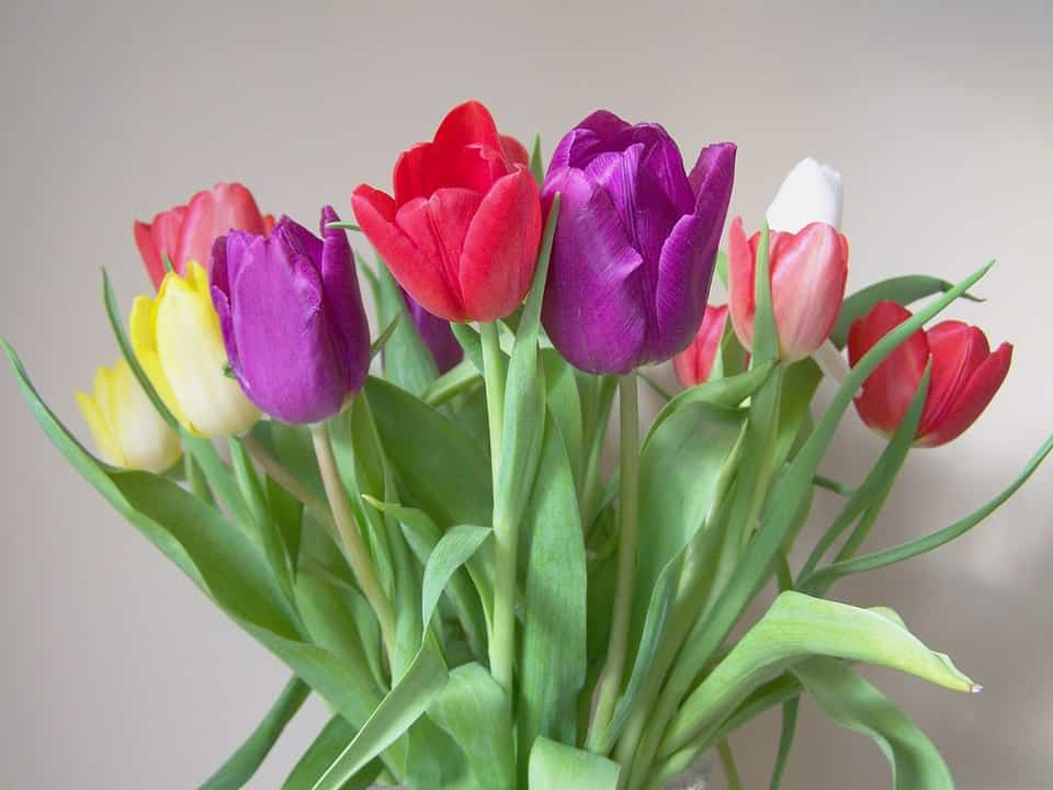 tulipanes colores para madres