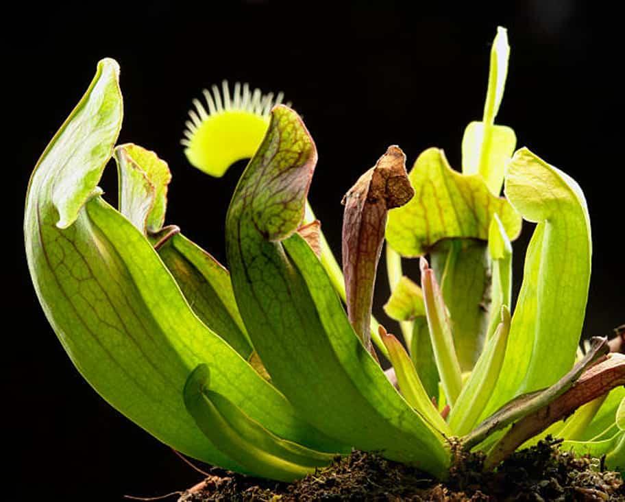cuidados de las plantas carnívoras