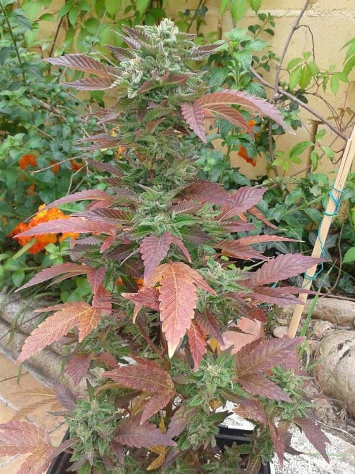 planta marihuana invierno