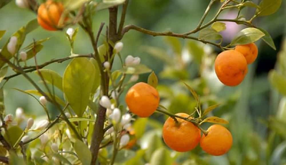 cultivar un árbol mandarino
