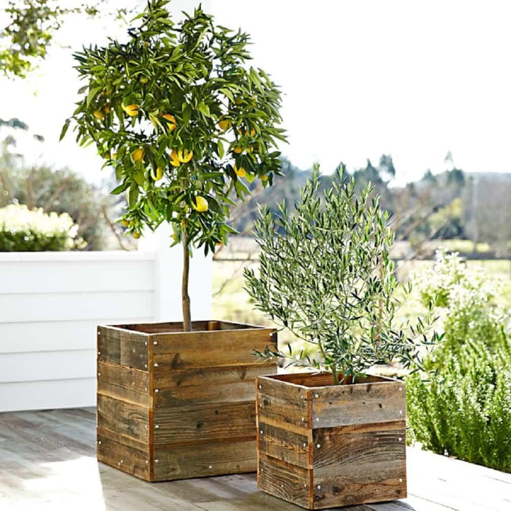 cultivar un limonero en una maceta