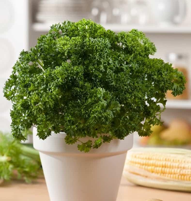 especias que puedes plantar en casa