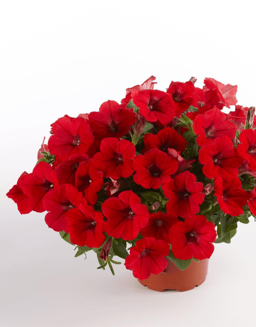 Flores de color rojo