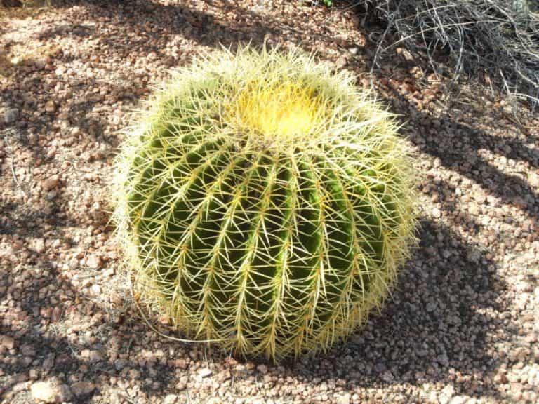 Asiento de la suegra o cactus erizo (Echinocactus grusonii)