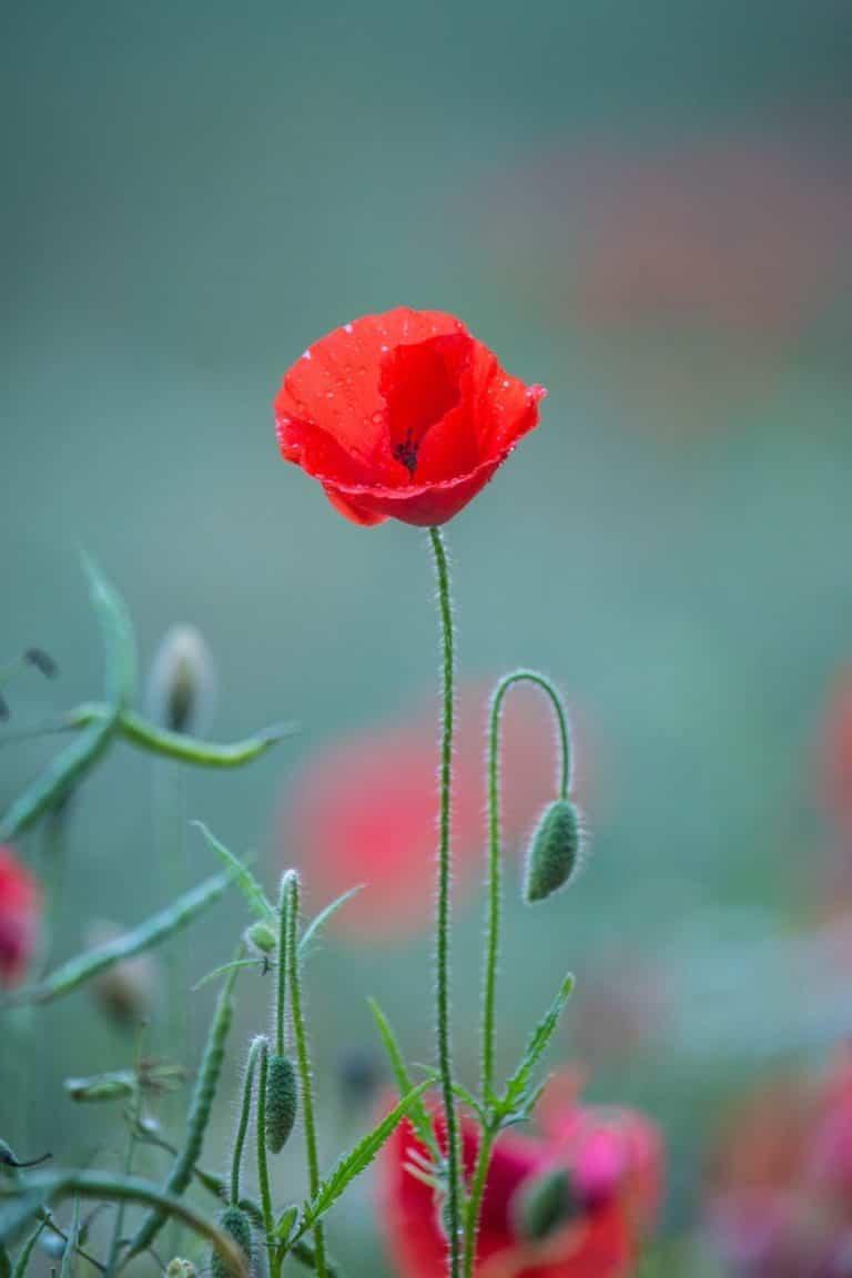 ¿Cuál es el significado de la amapola como bella flor?