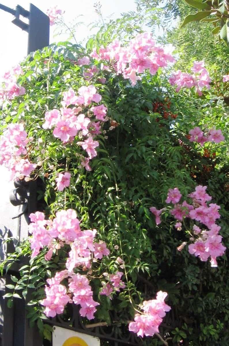 Arbusto de Pandora
