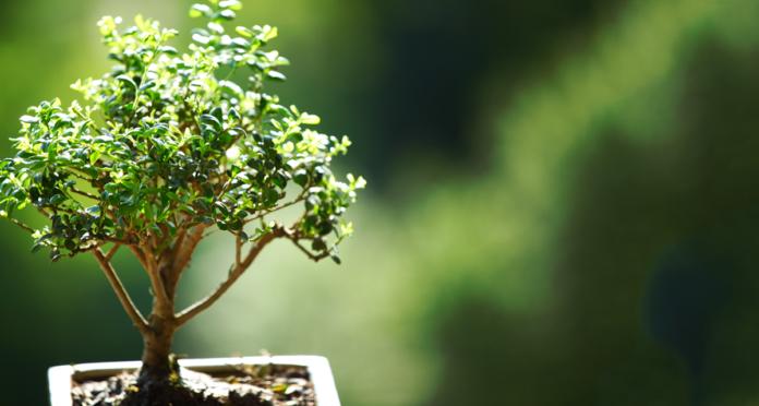 cómo cuidar a los bonsáis