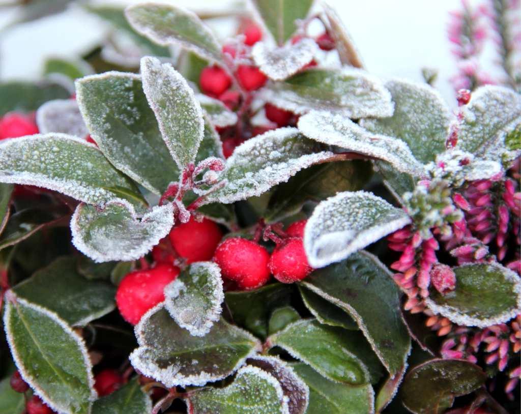 plantas que resisten las heladas