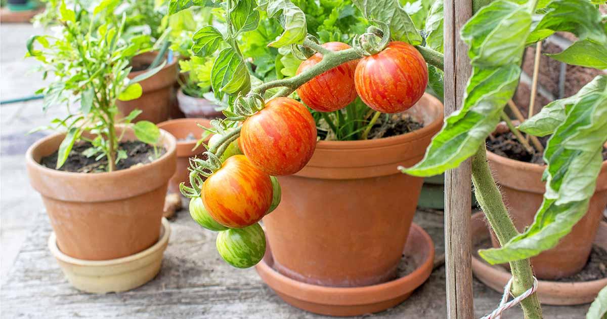 cultivar en una maceta