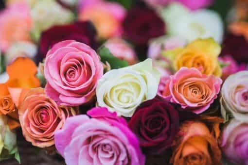 significado de las rosas 1
